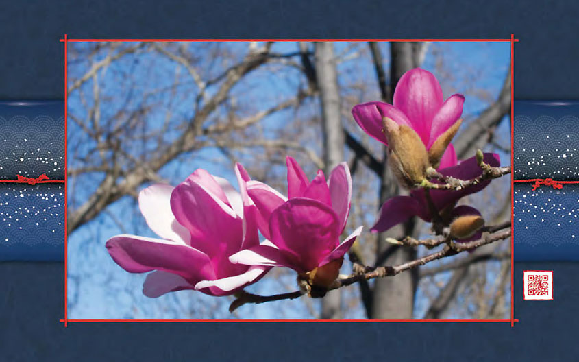 Tulip Tree Blossoms 2011